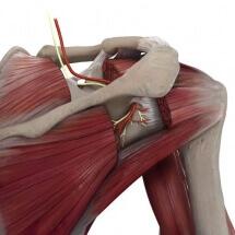 Suprascapular nerve medical art, medical illustration, Catherine Sulzmann, medical artist
