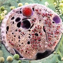 Pancreatic cell, medical illustration, medical illustration, medical art, medical illustration, Catherine Sulzmann, medical artist