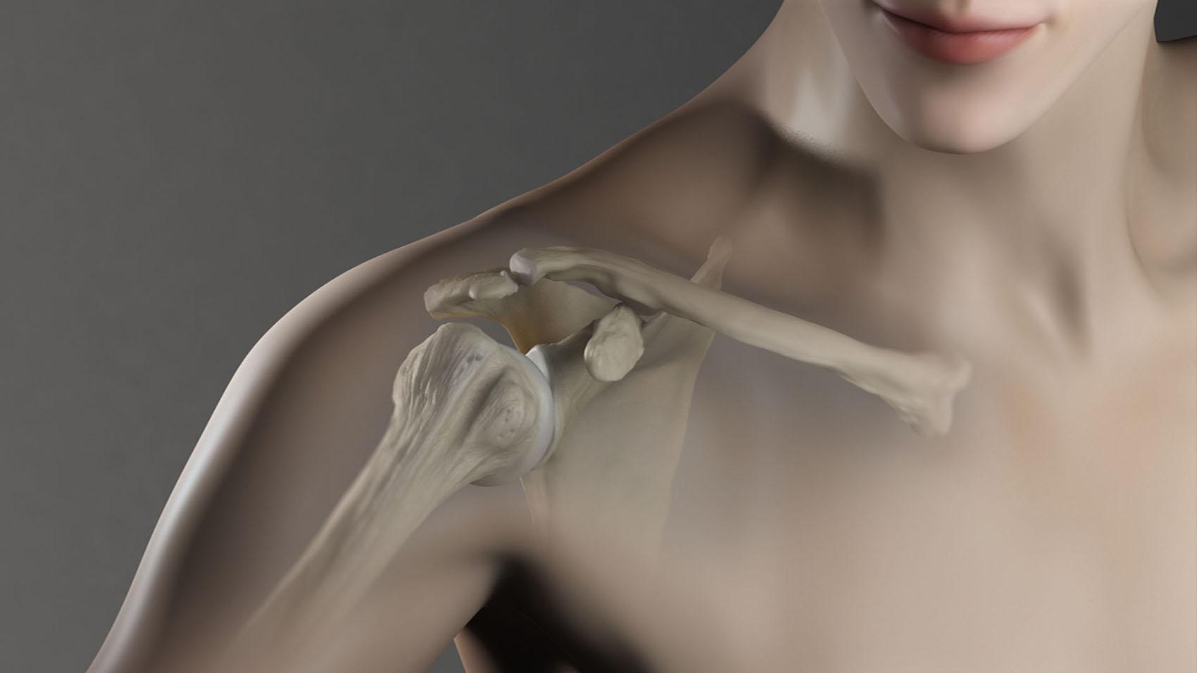 Shoulder anatomy medical illustration