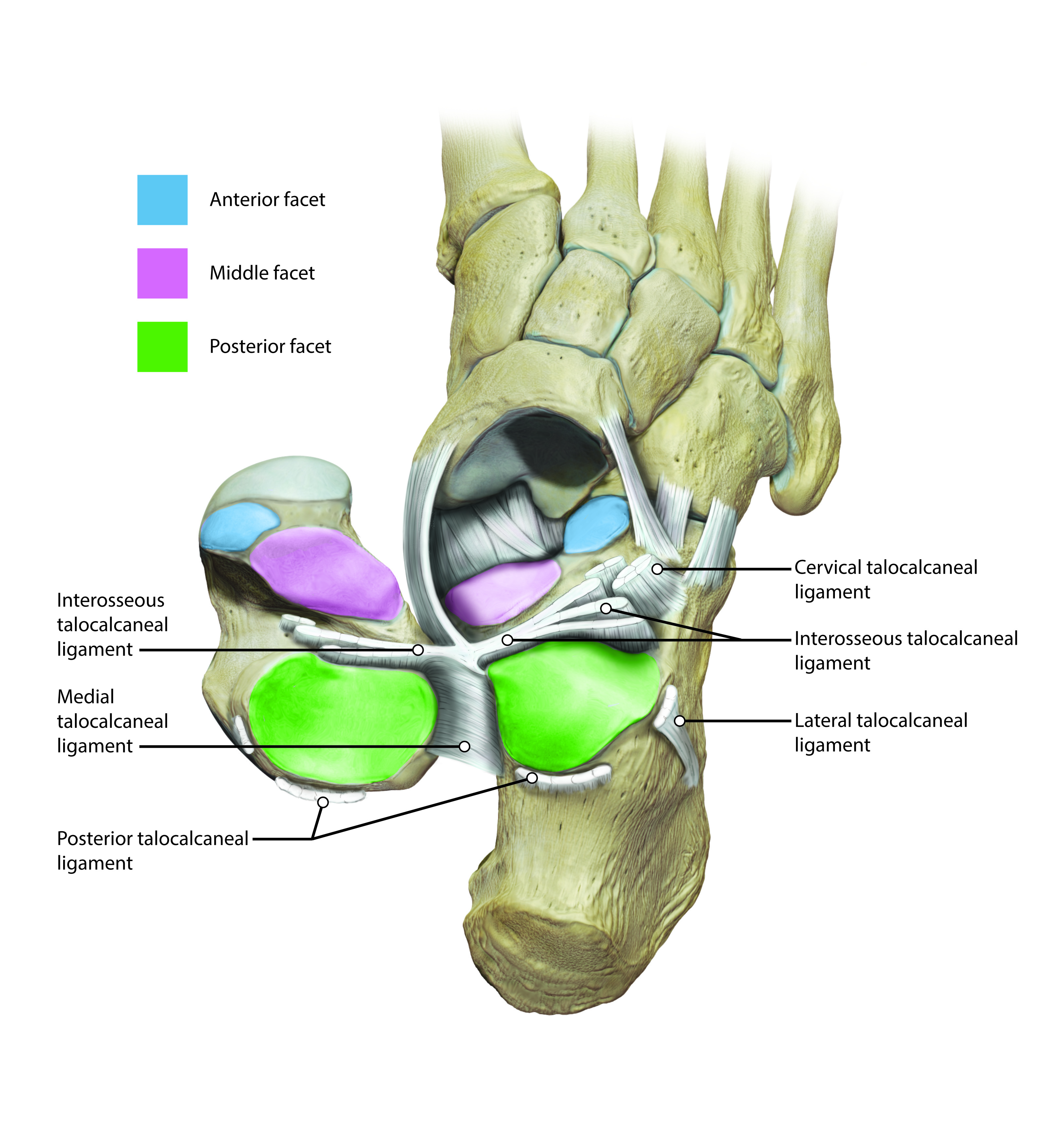 subtalar joint medical illustration foot anatomy