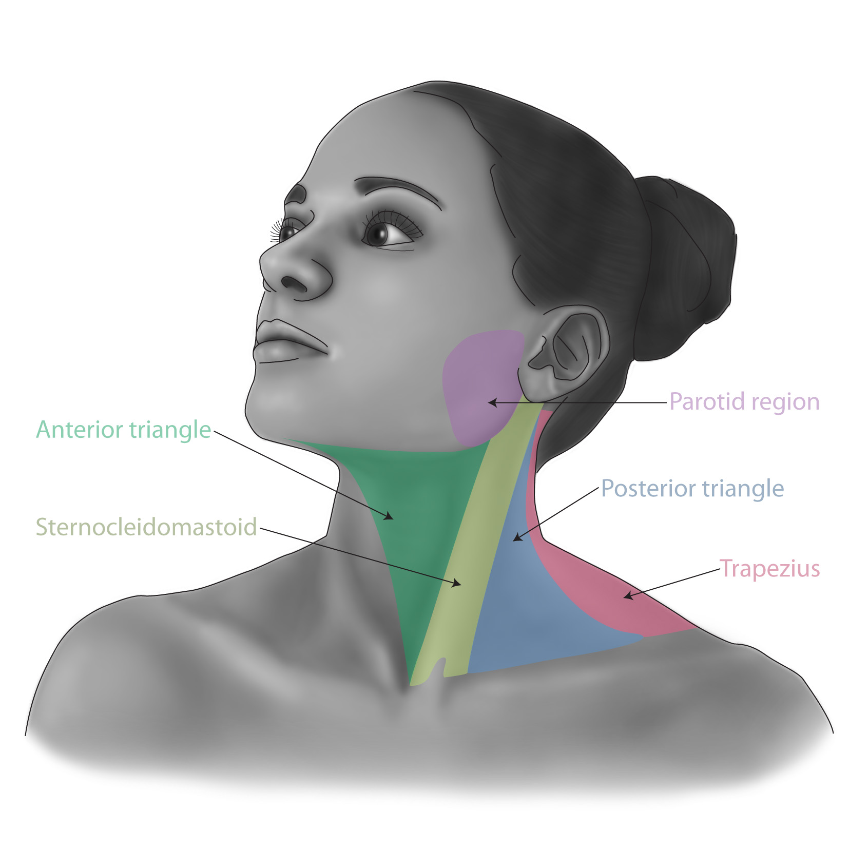 Regions of the neck for the book Surgical Talk