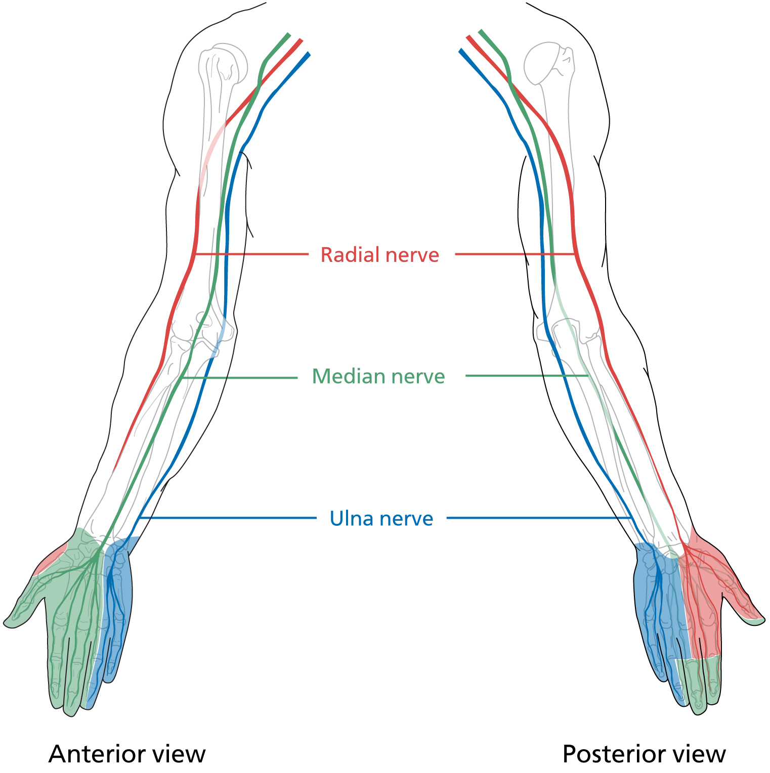 Nerves of the arms illustration for the book Surgical Talk