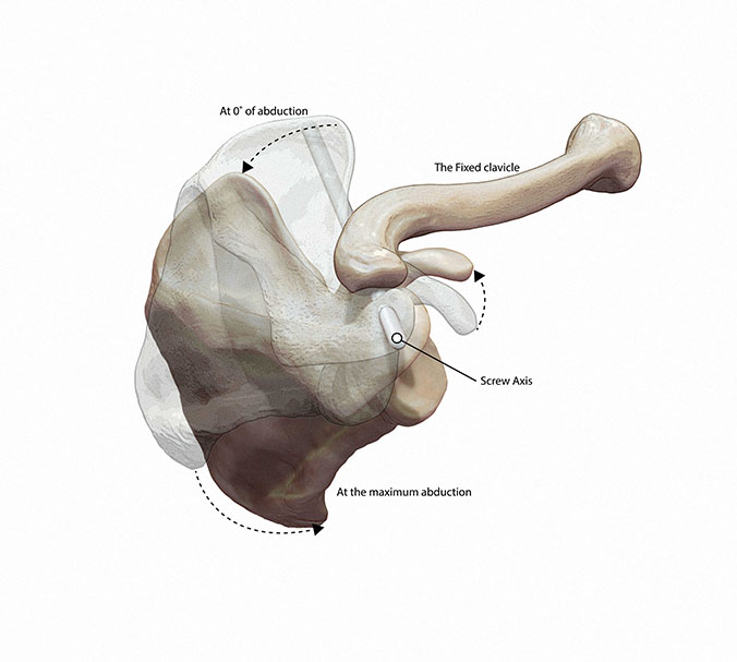 Medical illustration rotation of the scapula Shoulder with fixed clavicle