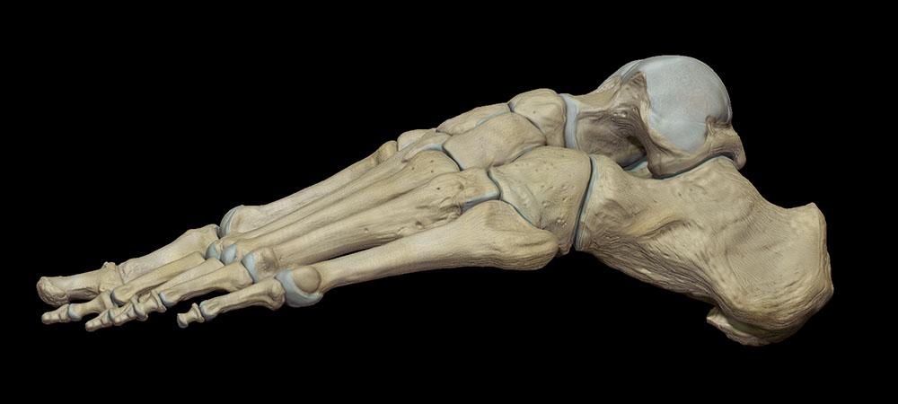 Foot bones, anatomy medical illustration Zbrush sculpt