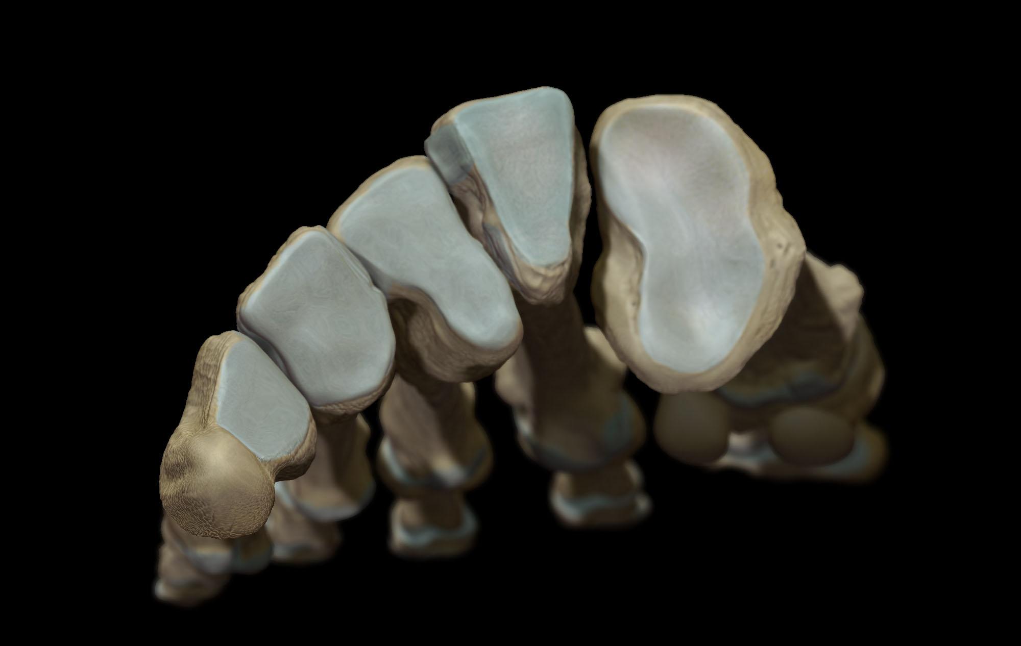 tarosmetatarsal joints render, anatomy medical illustration Zbrush sculpt